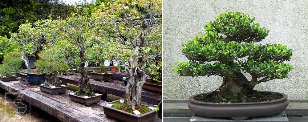 Bonsai - sposób na japońską zieleń we wnętrzach
